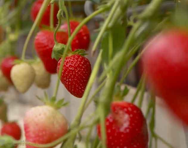 Erdbeeren hängend